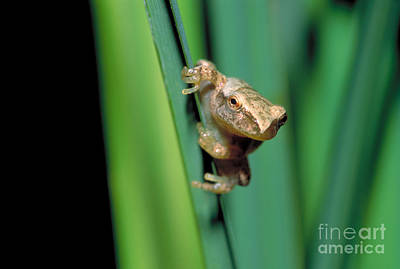 Spring Peepers Photograph - Spring Peeper Frog by Larry West