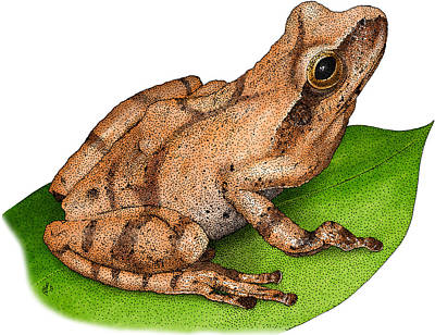Spring Peeper Photograph - Spring Peeper by Roger Hall