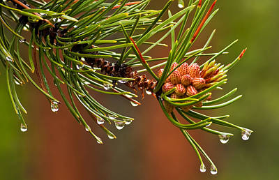 Photograph - Spring Pine by Eric Rundle