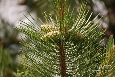 Photograph - Spring Pine by Mark McReynolds