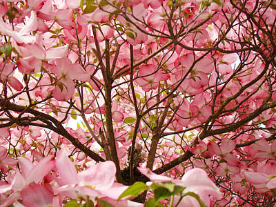 Spring Pink Dogwood Tree Blososms Art Prints Art Print