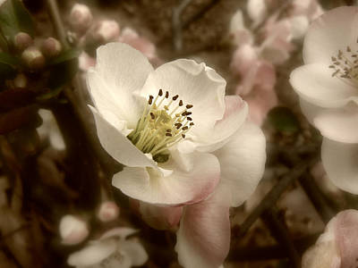 Photograph - Spring Quince Blossom by MM Anderson