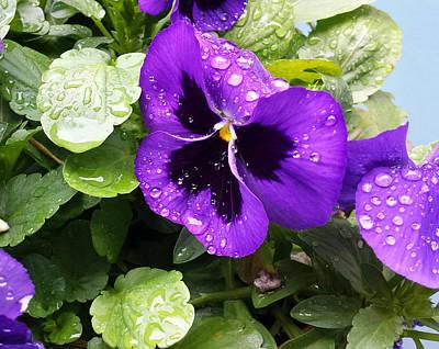 Photograph - Spring Rain On Pansies by Lynn Hansen
