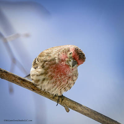 Finch Painting - Spring Red Finch by LeeAnn McLaneGoetz McLaneGoetzStudioLLCcom
