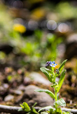 Forget Me Nots Wall Art - Photograph - Spring Remembered by Aaron Aldrich