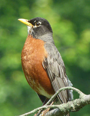 Photograph - Spring Robin by Richard Bryce and Family