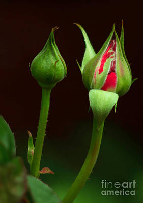 Photograph - Spring Rose Bud by Ron Roberts