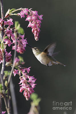 Tim Moore Photograph - Spring Rufous by Tim Moore