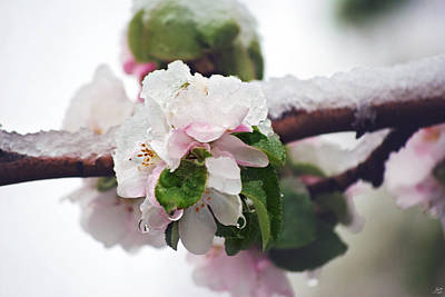 Photograph - Spring Snow On Apple Blossoms by Lisa Knechtel