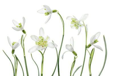 Snowdrops Photograph - Spring Snowdrops by Mandy Disher