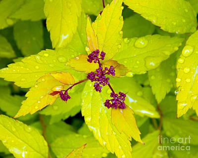 Photograph - Spring Spirea by Chuck Flewelling