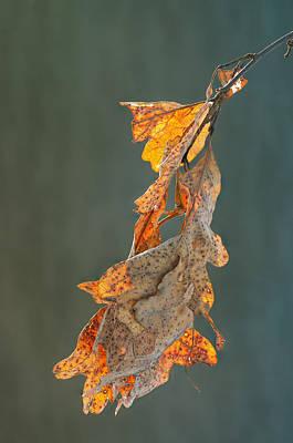Photograph - Spring Sun On Winter Oak Leaves by Jim Zablotny