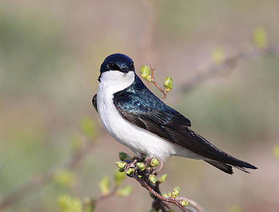 Photograph - Spring Swallow by Andrew W Hu