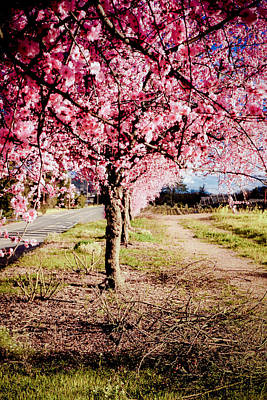 Cherry Blossoms Road Photograph - Spring Time by Aron Kearney