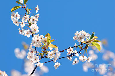 Youthful Photograph - Spring Tree by Michal Bednarek