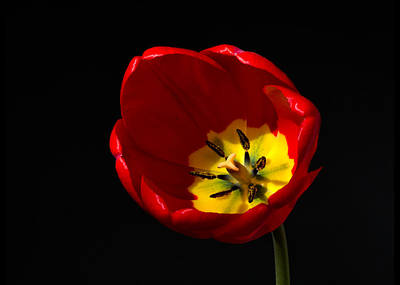 Spring Tulip 2 Art Print