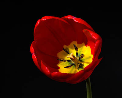 Photograph - Spring Tulip 1 by Kenneth Cole