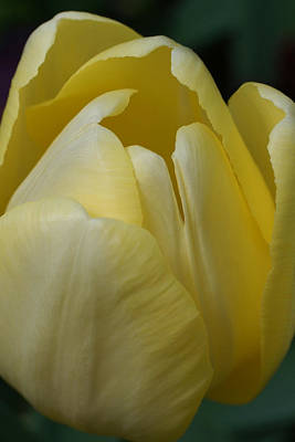 Tulip Pics Photograph - Spring Tulip by David Schleiss