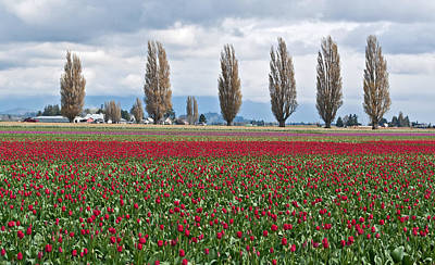 Photograph - Spring Tulip Fields With Poplar Trees In Background by Valerie Garner