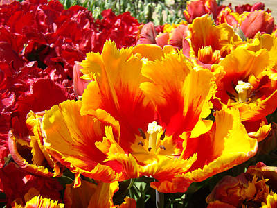 Spring Tulip Flowers Art Prints Yellow Red Tulip Print by Baslee Troutman