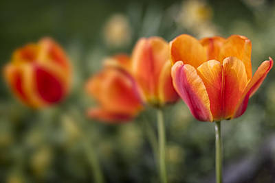 Red Photograph - Spring Tulips by Adam Romanowicz