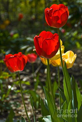 Photograph - Spring Tulips by Anthony Sacco