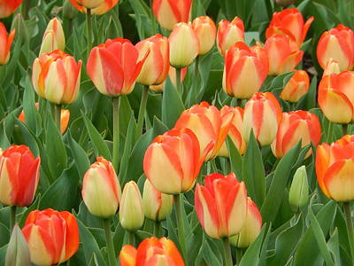 Photograph - Spring Tulips by Betty-Anne McDonald