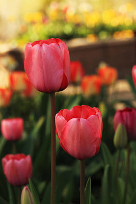 Photograph - Spring Tulips Close-up by Alan Vance Ley