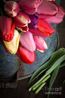 Violet Photograph - Spring Tulips by Edward Fielding
