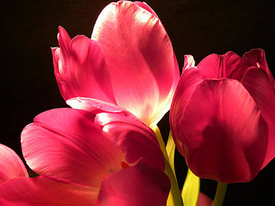 Photograph - Spring Tulips by Julie Palencia