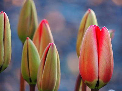 Art Print featuring the photograph Spring Tulips by Karen Horn