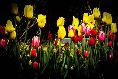 Photograph - Spring Tulips by Ron Roberts