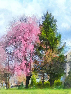 Photograph - Spring - Weeping Cherry And Evergreen by Susan Savad