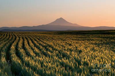 Mt Hood Photograph - Spring Wheat by Mike  Dawson
