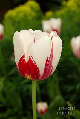 Photograph - Spring White And Red Tulip by Eva Kaufman