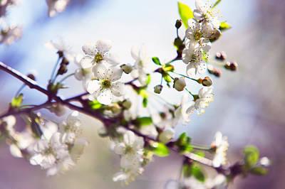 Spring White Cherry Tree  Art Print by Jenny Rainbow