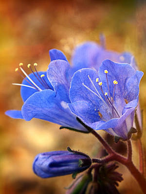 Photograph - Spring Wildflowers - The Desert Bluebells by Lucinda Walter
