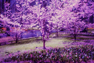 Cherry Bloom Photograph - Spring Wonderland Pastel. Garden Keukenhof. Netherlands by Jenny Rainbow
