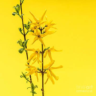 Lovely Lavender - Spring forsythia on yellow by Elena Elisseeva