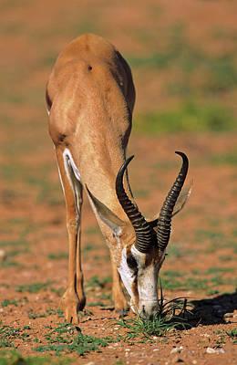 Springbok (antidorcas Marsupialis Art Print by Martin Zwick