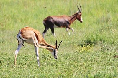 Blesbok Wall Art - Photograph - Springbok Itch by Hermanus A Alberts