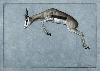 Antelope Drawing - Springbok by James W Johnson