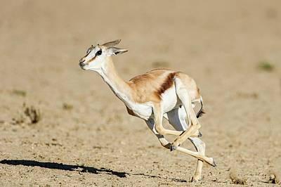 Springbok Lamb Running Art Print by Peter Chadwick