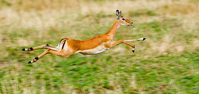 Uncertainty Photograph - Springbok Leaping In A Field by Panoramic Images