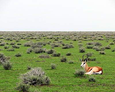 Photograph - Springbok by Ramona Johnston