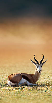 Springbok Resting On Green Desert Grass Art Print by Johan Swanepoel