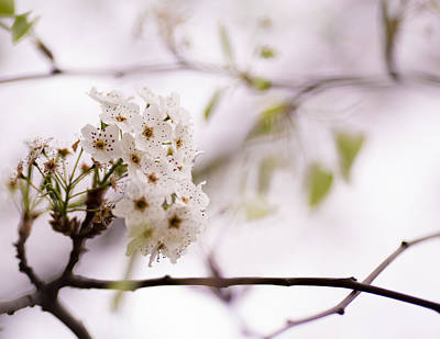 Springs Blossom  Art Print by Mike Lee