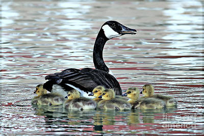 Photograph - Spring's First Goslings by Elizabeth Winter