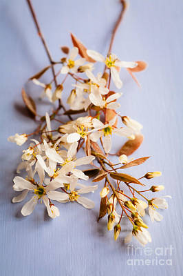 Photograph - Springtime Amelanchier Blossom by Jan Bickerton