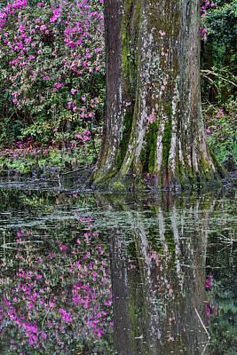 Springtime Azalea Blooming Magnolia Art Print